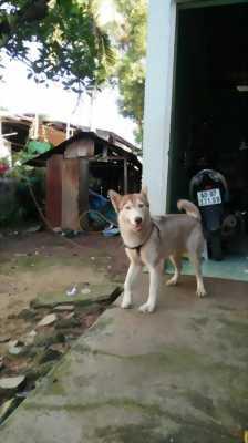 Bán chó cái Husky 12, 5 tháng