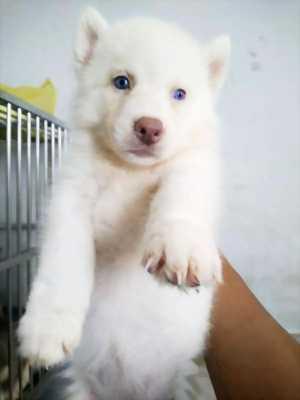 Cần tìm chủ mới cho bé Husky cái,  hai tháng tuổi