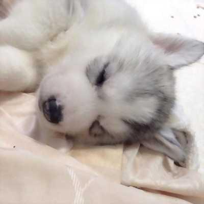 Tìm chủ mới cho chó Husky thuần chủng