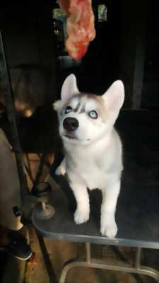 Bầy Husky xám trắng 2 mắt xanh