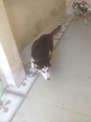 Cần bán chó Husky
