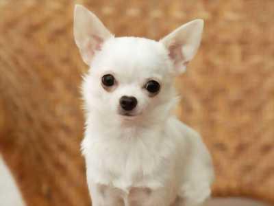 Chihuahua mini