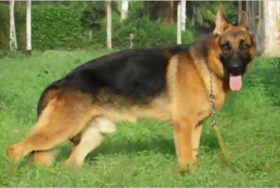 Chó becgie
