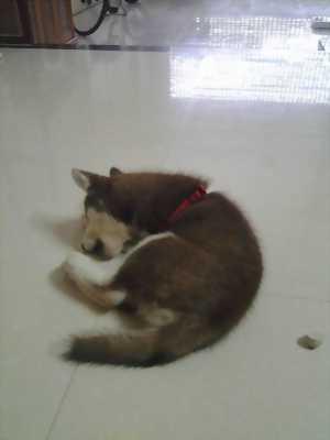 Husky có giấy tờ tiêm phòng đầy đủ