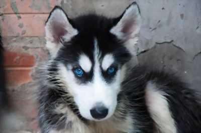 Bán gấp Chó Husky đẹp và rẻ