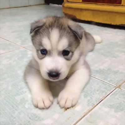Cần bán 1 bé Husky