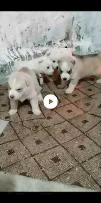 Tìm chủ cho 4 bé husky đực.có ra hàng khi mua.