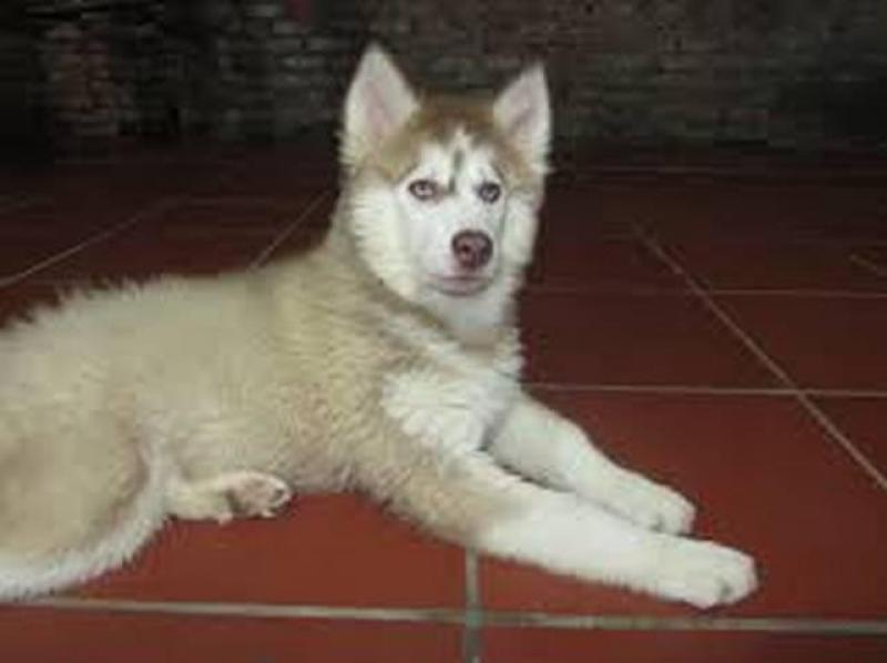 Cần bán chó Husky 1 năm tuổi nặng 25kg giới tính đực