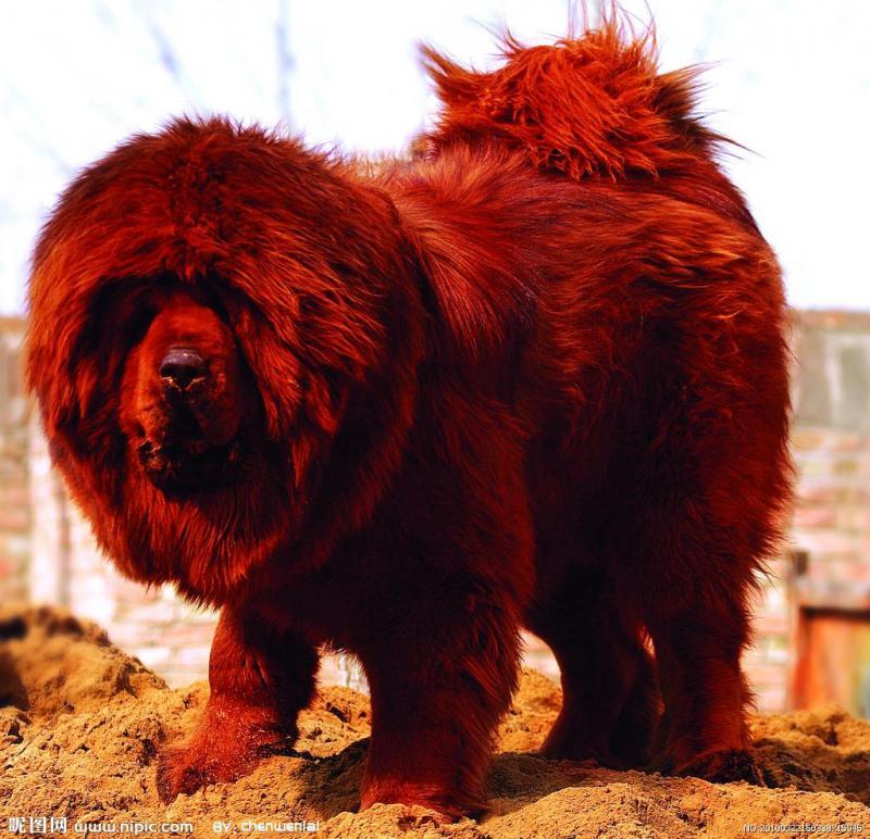 Cận cảnh hình ảnh con chó ngao Tây Tạng đắt nhất thế giới