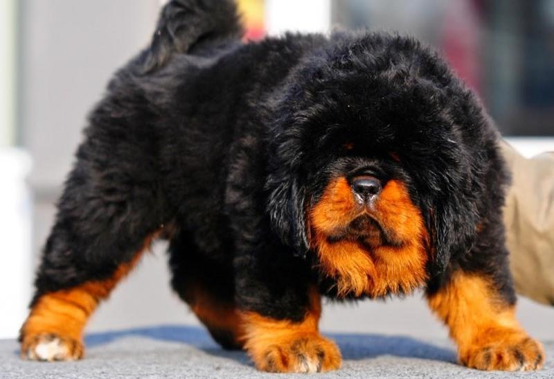 Chó ngao Tây Tạng giá bao nhiêu tiền?