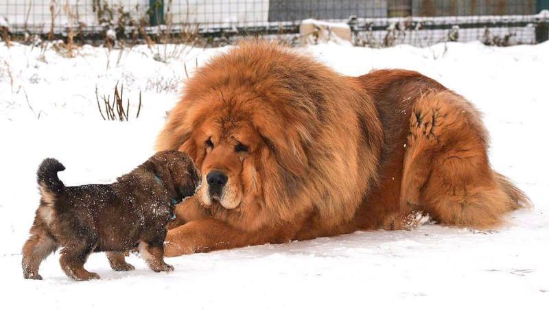 Chó Ngao Tây Tạng con giá bao nhiêu?