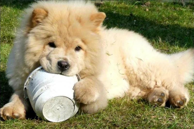 Tìm hiểu về kỹ thuật nuôi chó ngao Tây Tạng