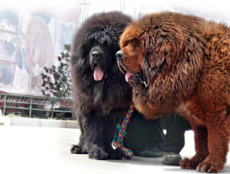 """Sơ lược về Chó Ngao Tây Tạng còn được coi như """"Sư tử Chó''"""