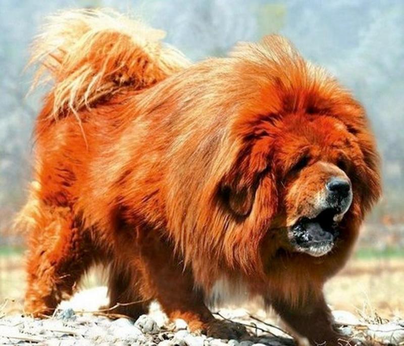 Những điều cần quan tâm khi quyết định nuôi chó Ngao Tây Tạng