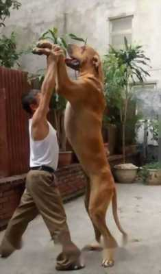 Bán chó như hình