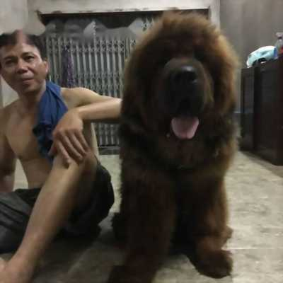 Cần bán chó Ngao