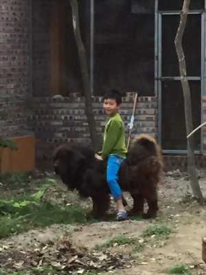Bán chó ngao đực 1, 5 năm tuổi 64kg em ngao thuần . . .