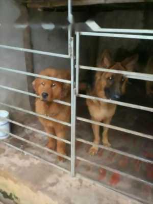 Chó Ngao tây tang đực ba tháng tuổi nặng trên 30kg