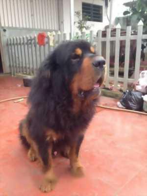 Bán chó Ngao