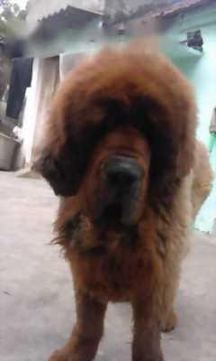 Cần bán chó Ngao Tây Tạng thuần chủng màu đỏ nặng . . .