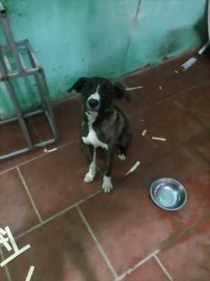 Cần bán chó Ngao ba tháng 15 kg