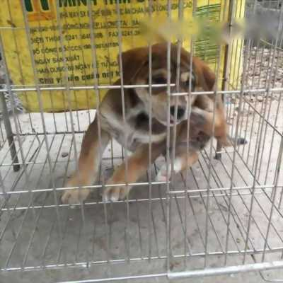 Bán chú chó Ngao cái hai tháng tuổi