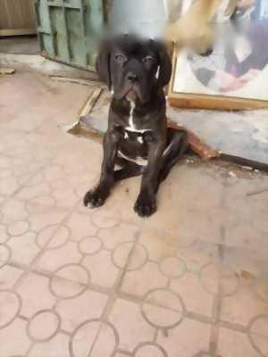 Chó ngao ý - cane corso