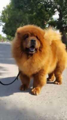 Bán chó Pug và Chow Tây Tạng