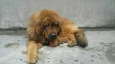 Bán chó Ngao Tây Tạng thuần chủng,  gần 7 tháng