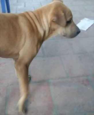 Bán chó Ngao hơn 4 tháng