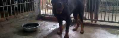 Cần bán chó Ngao Tây Tạng và Rottweiler