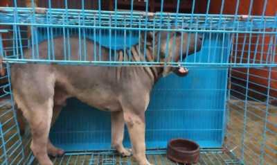 Bán chó ngao Saphia sáu tháng,  25kg,  mạnh khỏe,  ăn . . .