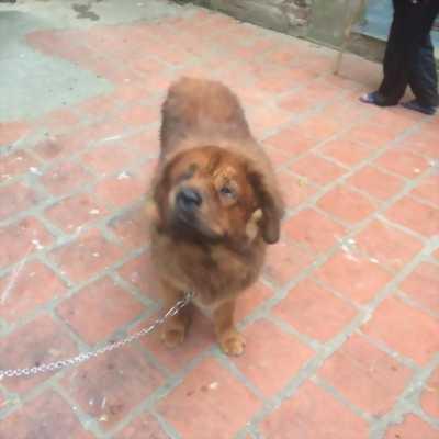 Bán chó Ngao Tây Tạng đỏ đực