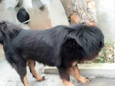 Chó ngao