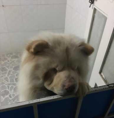 Chó Chow chow 3 tuổi, thuần chủng