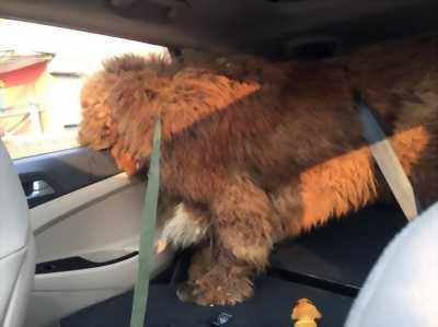 Mình có chú chó Ngao Tây Tạng thuần chủng đang cần bán nhanh