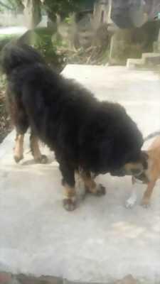 Mình bán chó Ngao Tây Tạng 60kg