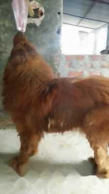 Bán chó Ngao Tây Tạng cái