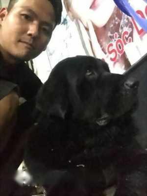 Cần bán nhanh chú chó ngao Tây Tạng