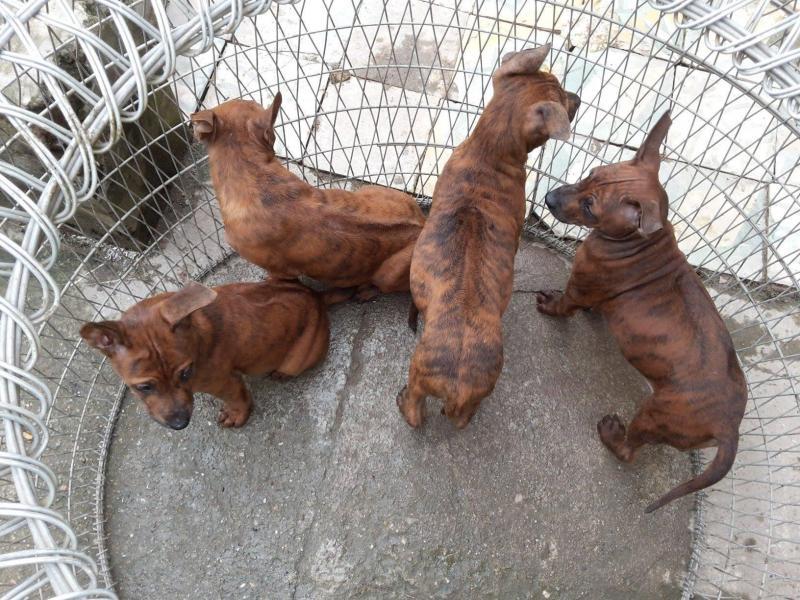 Cách nhận biết chó Phú Quốc thuần chủng và chó Phú Quốc lai