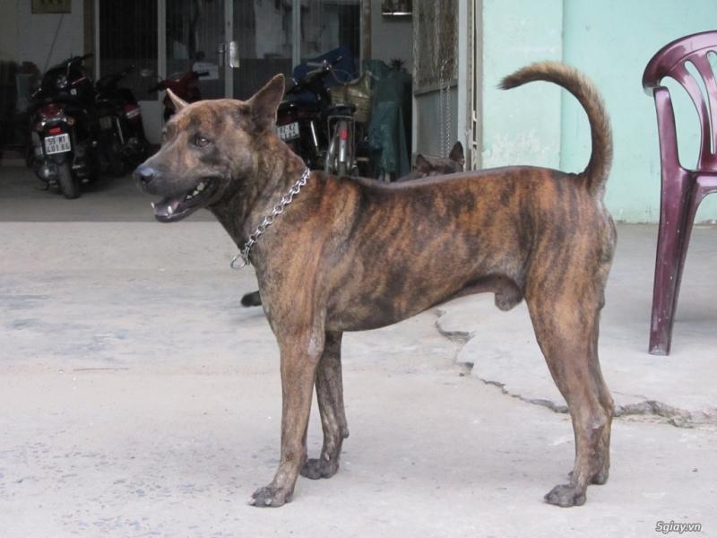 Bước chuẩn bị để phối giống chó Phú Quốc tại Hà Nội và Thành Phố Hồ Chí Minh