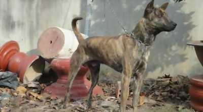 Cần bán chó phú quốc vện hổ 06 tháng làm giống