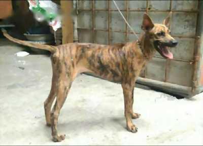 Bán nhanh chó Phú Quốc vện lửa ba tháng tuổi