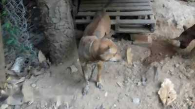 Cần bán chó Phú Quốc vện đực trưởng thành
