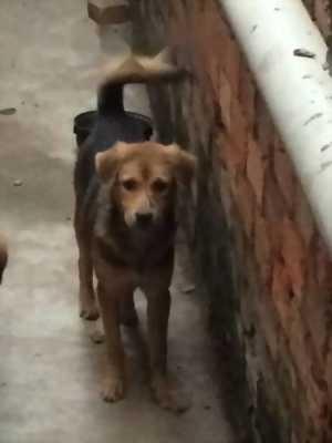 Bán chó Phú Quốc lai becgie