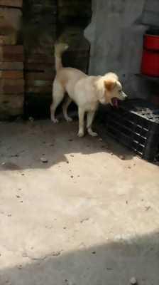 Cần bán con chó lông xù lai Phú Quốc