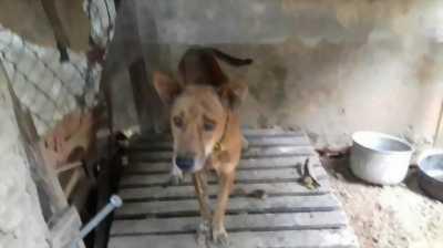 Bán chó Phú Quốc vện đực mười hai tháng tuổi