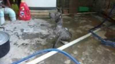 Bán chó Phú Quốc vện xám đực 3 tháng