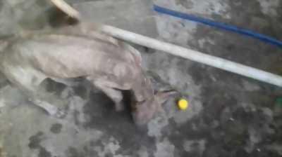 Bán chó Phú Quốc vện