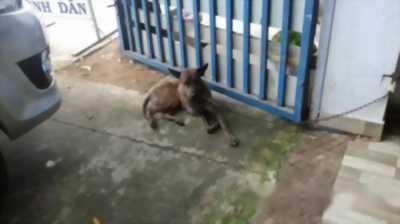 Bán chó Phú Quốc chuẩn giống